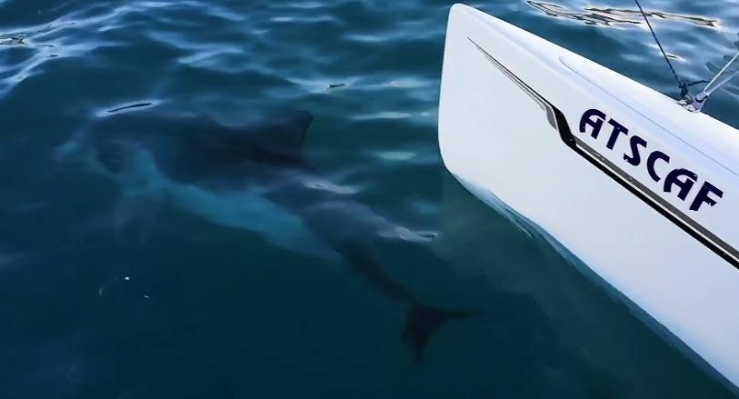 video ATSCAF Voile - Un dauphin filmé à la pointe rouge par un équipage catamaran